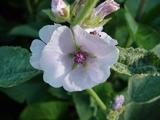 корени от бяла ружа
