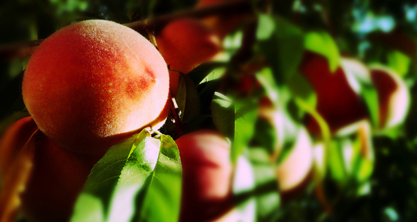 nature-fruits-food-peach